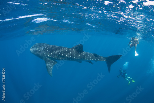 Whale Shark and Divers in Blue Water