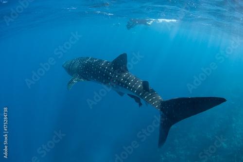 Obraz na dibondzie (fotoboard) Rekin wielorybi i operator filmowy