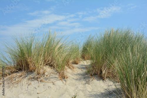 Spoed Foto op Canvas Noordzee Strandhafer in den Sanddünen an der Nordseeküste mit blauem Himmel und weiße Wolken