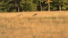 Pair Of Whitetail Deer In Main...
