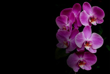 Pink Orchid Flower On Black Ba...