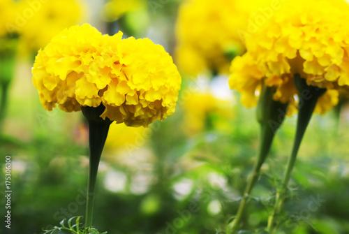 Plakat Piękny żółty nagietek kwitnie na drzewie w ther ogródzie, selekcyjna ostrość