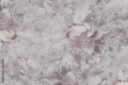 Floral Light Pink White Beautiful Background Wallpapers Of Flowers Peony Flower Composition
