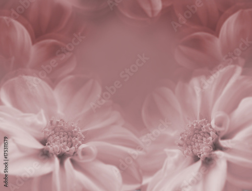Foto op Canvas Bloemen Floral red-white beautiful background. Large flowers of dahlia on a white blurred background. Closeup. Nature.