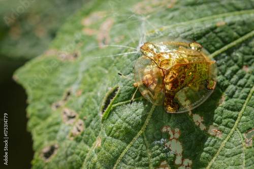Image of Golden Tortoise Beetle on a green leaf. Insect Animal