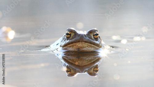 Foto op Canvas Kikker frog in water nature wildlife outdoor