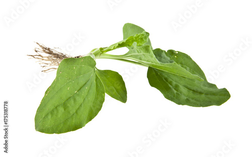 Fotomural plantain isolated on white background closeup