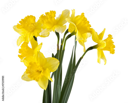 Deurstickers Narcis Yellow daffodil flowers isolated on white background