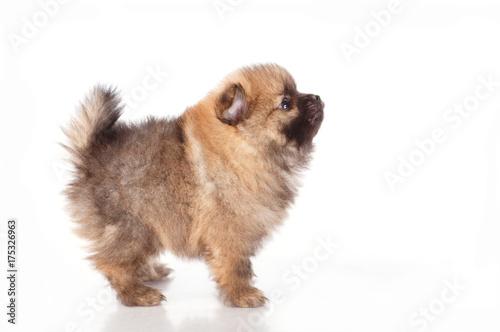 Foto  Spitz puppies