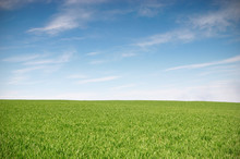 Field With Green Wheat And Blue Sky