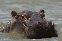 An Hippoptamus (Hippopotamus A...