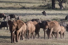 A Breeding Herd Of African Ele...
