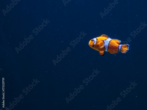 Photo Orange Amphiprion Ocellaris Clownfish inside Marine Aquarium