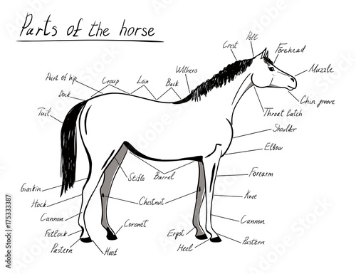 Parts Of Horse Equine Anatomy White And Black Equestrian Scheme