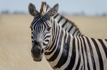 Fototapeta na wymiar Close-up portrait of Burchells zebra in front of yellow grass, Etosha National Park, Namibia, Southern Africa