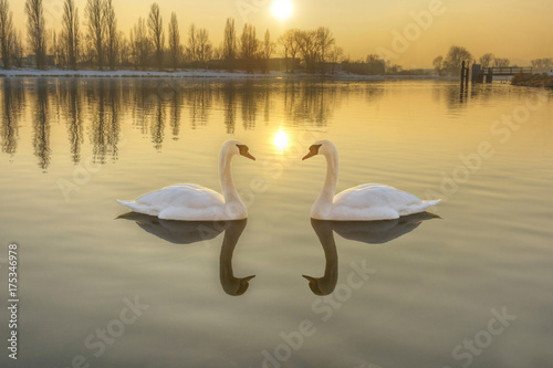 Two white swans on a river at sunset