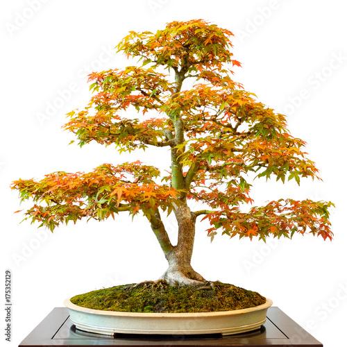 Spoed Fotobehang Bonsai Ahornbaum (Acer palmatum) als Bonsai Baum
