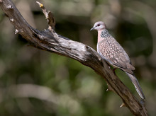The Spotted Dove (Spilopelia Chinensis)