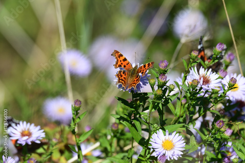 Plakat szczegółowo makro motyl na kwiatek