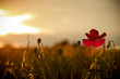 canvas print picture - single poppy on red tuned background