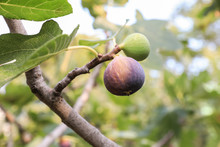 Growing Fig Fruits On Branches...