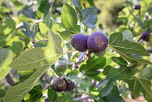 Ripe Fig Fruits On Branches Of A Fig Tree.