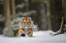 Running Tiger On Snow