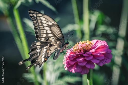 Plakat Motyl na purpurowym menchia kwiacie