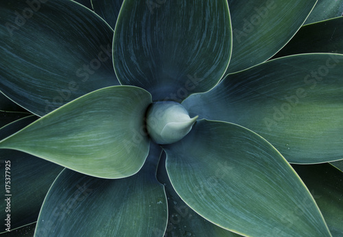 Abstract top view of the agave plant Dragon tree, blue fox tail agave Floral gre Canvas Print