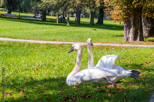Two swans in Park in Naleczow city, Poland