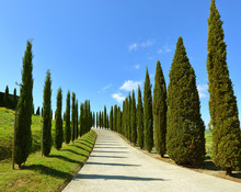 Road On Hill With Cypress Tree...