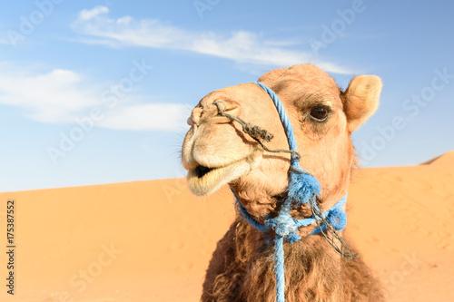 Fotobehang Kameel Camel in Erg Chebbi Sand dunes near Merzouga, Morocco