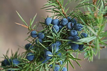 Juniper Twig With Blue Ripe Fr...