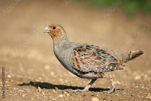 Grey Partridge partridge in a beautiful light Fototapeta