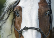 Gypsy Vanner Horse Stallion Head