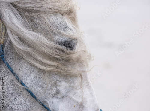Fotografie, Obraz  Grey horse head detail with blowing mane