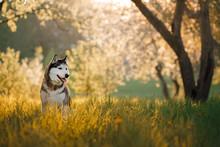Dog Siberian Husky In The Apple Orchard