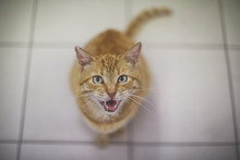 Cat Meowing At The Camera