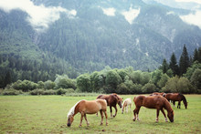Horses Grazing The Grass In A Pasture