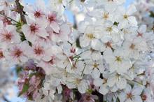 Spring Cherry Blossom En Mass