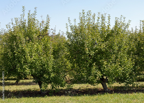Dwarf apple trees at the edge of an orchard