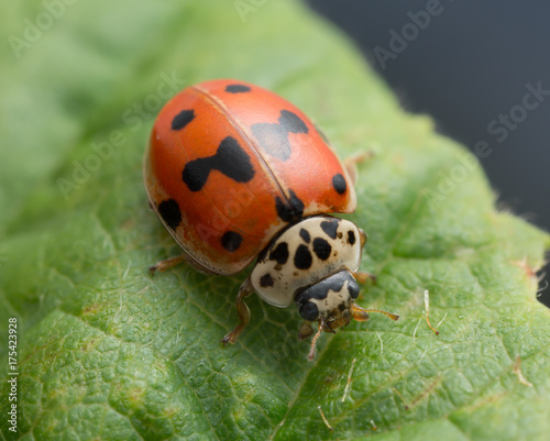 Macro photo of a ten-spotted ladybug, Adalia decempunctata on leaf
