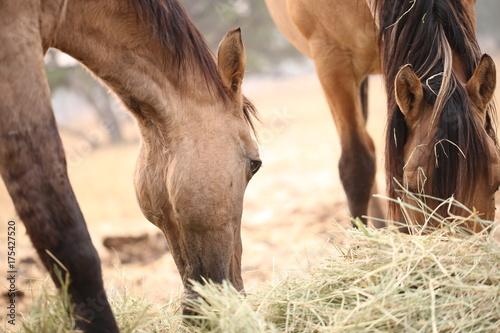 Fotografie, Obraz  2 Pferde beim fressen