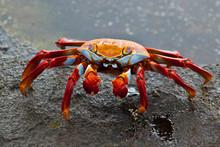 Sally Lightfoot Crab At Edge O...