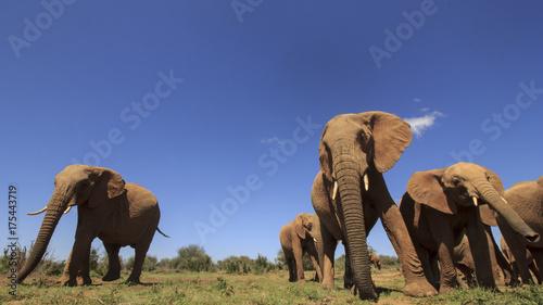 Obraz na płótnie Słonie afrykańskie