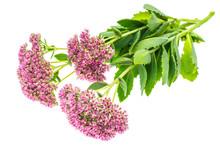 Garden And Medicinal Flower Se...