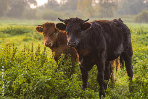 Fényképezés  young bulls in the morning light on the pasture