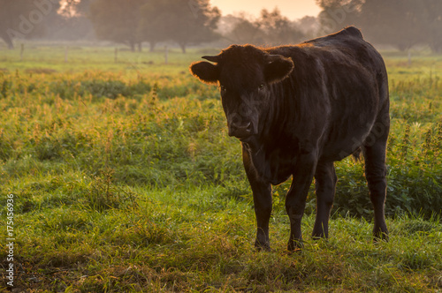 Photo young bull in the morning light on the pasture