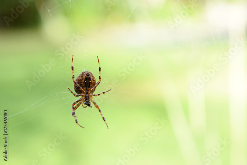 Orb weaver spider on its cobweb