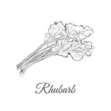 Rhubarb Sketch Hand Drawing. R...